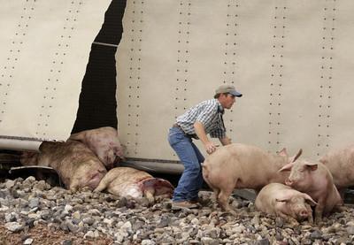 Truck hauling hogs crashes – Las Vegas Review-Journal