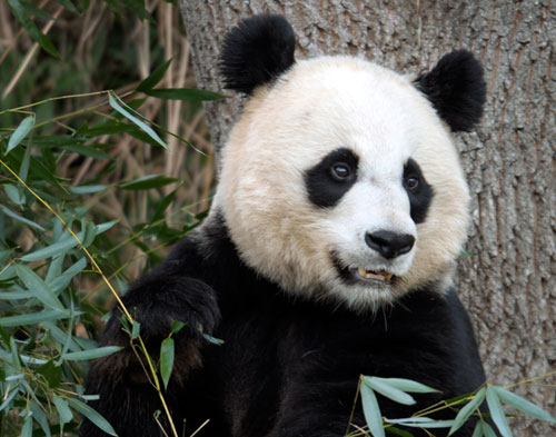 national_zoo_panda