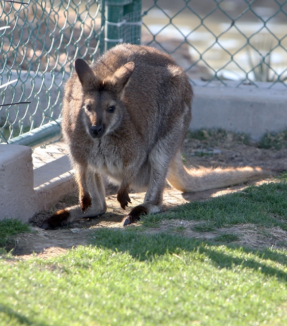A female wallaby rests in her enclosure Tuesday at Wayne Newton's Casa de Shenandoah in Las Vegas. Caring for the animals cost about $5,000 every month, court papers showed.