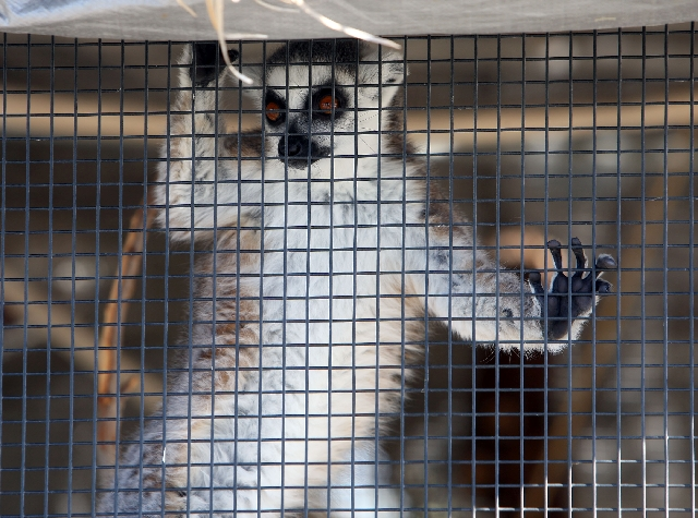 A lemur looks out from his cage Tuesday at Wayne Newton's Casa de Shenandoah in Las Vegas. The animals at the house were sold after approval from U.S. Bankruptcy Court.