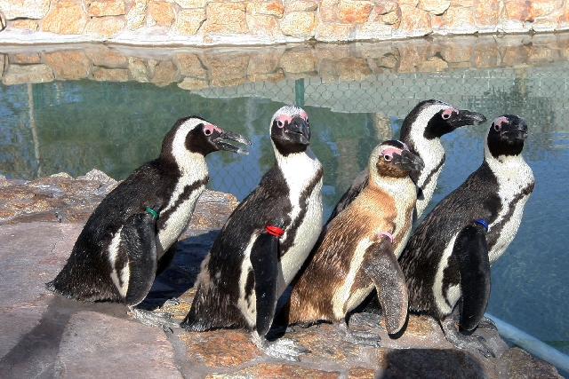 Five penguins — from left, Josie, Albert, Charlie, Chalet and Hawaii — sit Tuesday at Casa de Shenandoah, the home of former Strip headliner Wayne Newton. Most of the exotic animals on ...