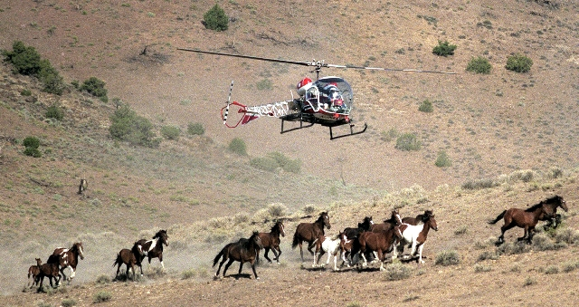 A Nevada Department of Agriculture helicopter is used to round up wild horses on the Virginia Range southeast of Reno in 2002. Wild horse protection advocates will now be able to buy the animals a ...