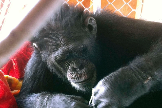 Chimpanzee C.J., seen here in a undated photo provided by Lee Watkinson, escaped from its Las Vegas enclosure twice in 2012. A new proposal would outlaw owning wild animals, including chimpanzees.