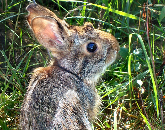 This undated photo provided by New Hampshire Fish and Game Department shows a New England cottontail rabbit. Wildlife officials say the New England cottontail could soon face extinction, due to di ...