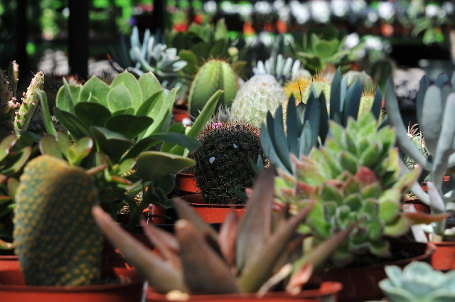 Various succulents are on display among the many types of succulents, vegetables, fruit, trees and other plants for sale at Plant World.