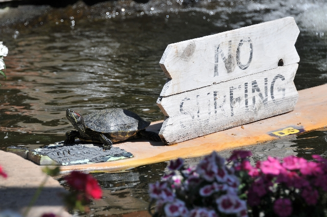 "A turtle ignores the ""no surfing"" sign in its pond March 22."