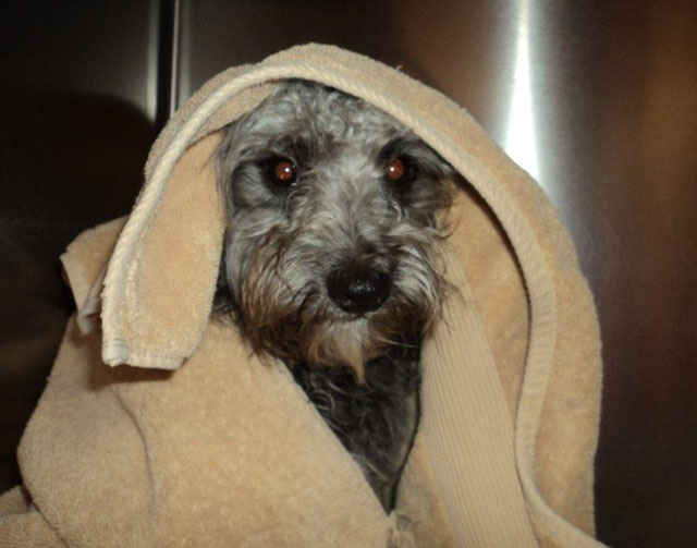 This image provided by Riverside County Animal Services shows Banjo, a 10-month-old poodle-terrier mix that was tied to train tracks in the California desert and rescued by Riverside County Animal ...