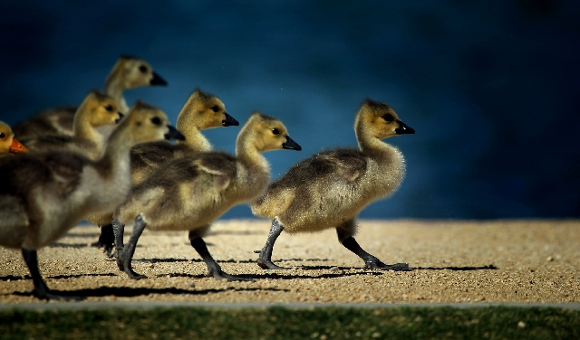 Baby waterfowl walk along the edge of the pond on Tuesday at Sunset Regional Park on Sunset Road and Eastern Avenue. Las Vegas temperatures will be climbing this week, with a high of 81 degrees ex ...