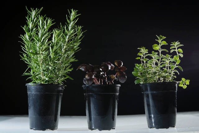 Local chefs say growing herbs is worth the trouble, given the boost they give to meals. Herbs pictured here are, from left, rosemary, amethyst basil and Greek oregano.