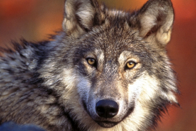 This undated photo provided by the U.S. Fish and Wildlife Service shows a gray wolf. Federal wildlife officials have drafted plans to lift protections for gray wolves across the Lower 48 states, w ...