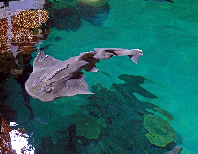 From Sunday through May 11, Clark County School District teachers with valid identification can get into the Shark Reef attraction at Mandalay Bay for free.