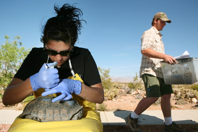 Larisa Gokool holds a female tortoise in her lap and attaches a transmitter to its shell as Max Weber, right, carries a tortoise to a staging area at the Desert Tortoise Conservation Center Tuesda ...