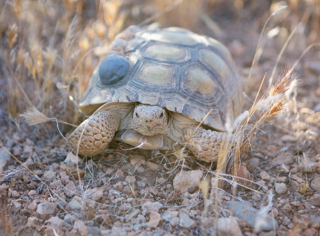 An adult female tortoise is shown shortly after it has been released Wednesday. Researchers released 32 tortoises into the wild.