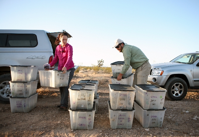 Pamela Flores, left, and Ben Jurand organize bins of tortoises Wednesday.