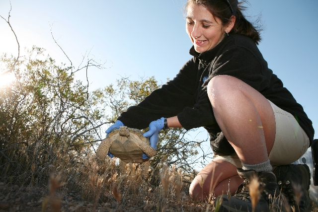 Jen Germano, a post-doctoral researcher for the San Diego Zoo, releases an adult female tortoise into the wild at federal land along the Spring Mountains southeast of Pahrump and 40 miles west of  ...