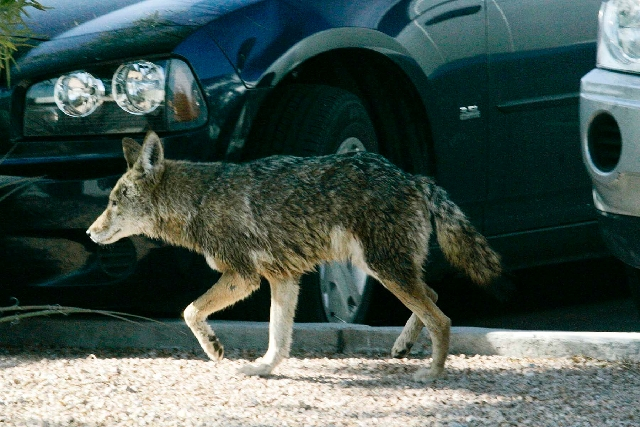 A coyote wanders through a parking lot at 6295 S. Pearl St. on Jan. 7, 2009, in Henderson.