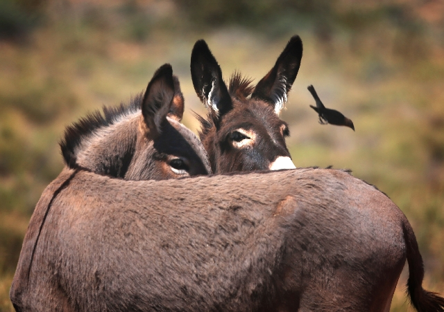 A couple of burros keep their eyes on a pesky bird Friday near Spring Mountain Ranch. The bird landed on the back of one of the burros but was quickly shooed away.