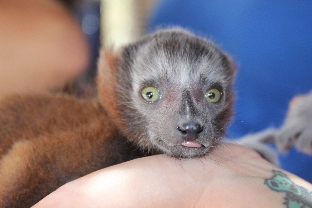 A staff member at Roos-N-More zoo on Tuesday holds a baby red-ruffed lemur, one of three of that were born at the small, family-owned facility in Moapa on May 5.