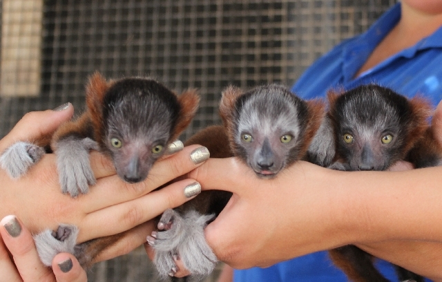 Staff members at Roos-N-More zoo hold three endangered red-ruffed lemurs Tuesday at the small, family-owned facility in Moapa. The triplets were born May 5.