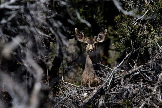 A deer peers through trees Wednesday at the freshly renovated Cathedral Rock Picnic Area on Mount Charleston. The 10-month project expanded and renovated the popular picnic area and trailhead.