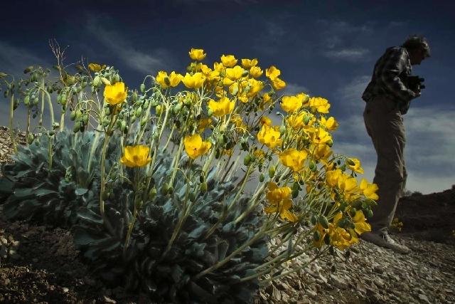 Enviromentalist John Hiatt stands near a Las Vegas bearpoppy  in Gold Butte in April. A bill is pending in Congress to designate Gold Butte as a National Conservation Area.