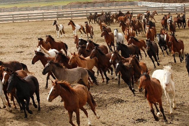 Wild horses run around in a fenced field in 2011 at the Stewart Conservation Camp in Carson City. The U.S. Bureau of Land Management says the drought has prompted plans to remove wild horses from  ...