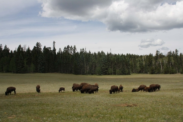 Non-native, bison-cattle hybrids are a common site at the North Rim of the Grand Canyon.