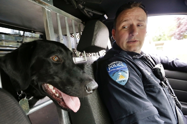 Drug-sniffing police dog Dusty sticks his head into the front seat as handler Officer Duke Roessel patrols in Bremerton, Wash.