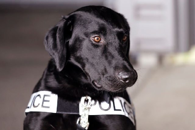 Drug-sniffing police dog Dusty waits to take part in a training session at the police station in Bremerton, Wash. The newest drug-sniffing dog on the police force in Bremerton, near Seattle, is on ...