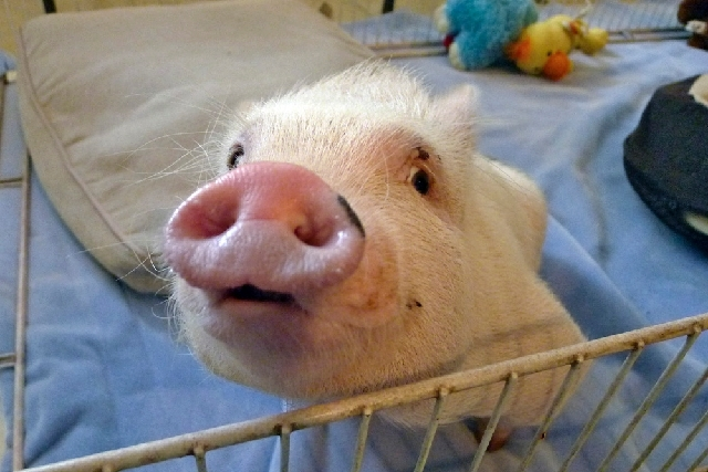 "Potbellied pig ""Chris P. Bacon,"" owned by veterinarian Dr. Len Lucero, looks out of his pen, in Sumterville, Fla. The pig was born without the use of his back legs."