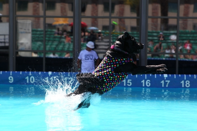 Five-year old Labrador retriever Jet, owned by Rea Hagan, leaps 13 feet Saturday in the Big Air event at the Cannery in North Las Vegas. The DockDogs world record is 31 feet.
