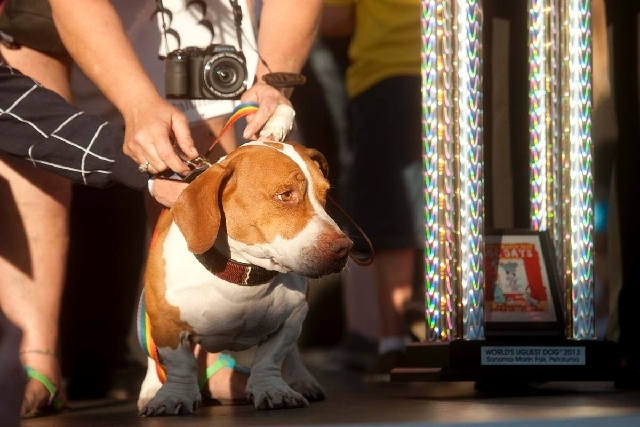 Walle, 4-year-old mix of beagle, boxer and basset hound, celebrates after winning top honors in the 25th annual World's Ugliest Dog Contest at the Sonoma-Marin Fair on Friday in Petaluma, Calif.