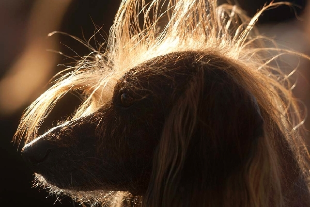 Isaboo, a 7-year-old Chinese Crested, basks in the sun after competing in the 25th annual World's Ugliest Dog Contest at the Sonoma-Marin Fair on Friday in Petaluma, Calif. Isaboo won third place  ...