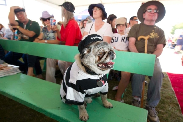 Grovie, a 10-year-old pug, waits to compete in the 25th annual World's Ugliest Dog Contest at the Sonoma-Marin Fair on Friday in Petaluma, Calif.