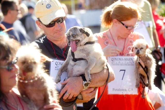 Penny, a 12-year-old pure bred pug, waits with owner James Montgomery to compete in the 25th annual World's Ugliest Dog Contest at the Sonoma-Marin Fair on Friday in Petaluma, Calif.
