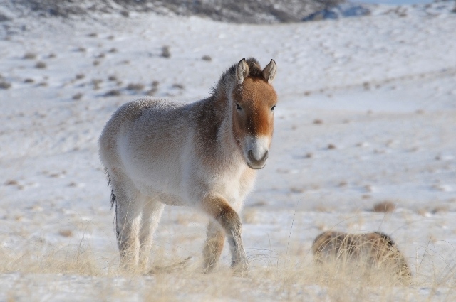 A Przewalski's horse is shown in Khomyntal, western Mongolia, in one of three reintroduction sites.