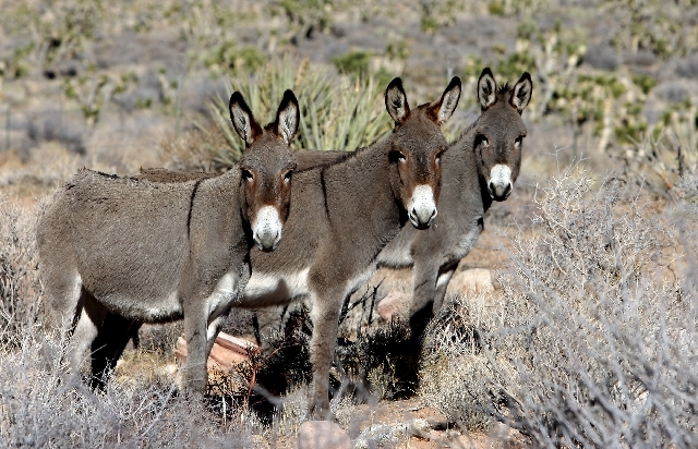Wild burros search for food along a trail at Red Rock Canyon Conservation Area.