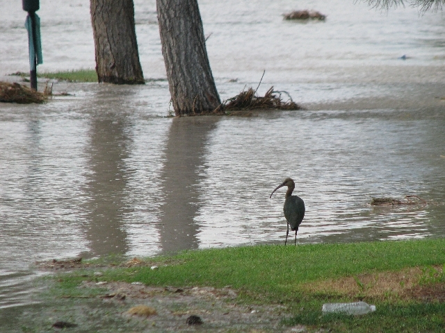 An ibis stands in flood water, which inundated the Desert Rose Golf Course at 5483 Clubhouse Drive on the morning of September 14, 2011. Rain caused the water level to rise at least 8 feet above t ...