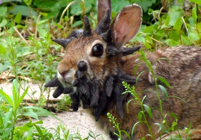 "This photo provided by Gunnar Boettcher shows a rabbit that Boettcher dubbed ""Frankenstein"" with what looks like a series of horns growing out of its head outside his home in Mankato, Minn. Boettc ..."