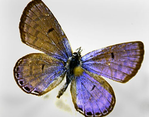 This Mount Charleston blue butterfly is on display at the Nevada State Museum in Las Vegas.