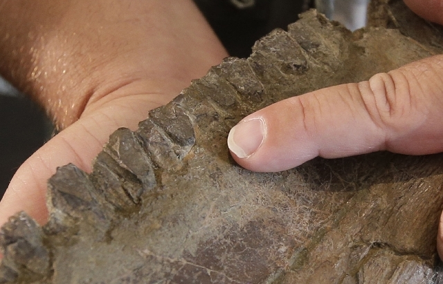 """The teeth of a """"Nasutoceratops titusi"""" is shown during a news conference at the Natural History Museum of Utah Wednesday in Salt lake City. Researchers in Salt Lake City say fossil-hunters unearth ..."""