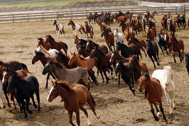 Wild horses, like these shown in May 2011 in Carson City, will be rounded up in Nevada, Oregon, Arizona, New Mexico, Colorado and Idaho.