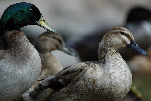 The Nevada Department of Wildlife will help conduct tests at Floyd Lamb Park at Tule Springs after 15 ducks were found dead in the area.