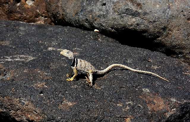 """Sun City Anthem resident Paul Hernandez sent in a photo of a lizard adapting to the heat along the Anthem trail system July 1. Hernandez was on a """"short 2-mile hike near my house which is very clo ..."""