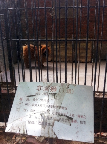 """In this photo taken Monday Aug. 12, a Tibetan mastiff looks out from a cage near a sign which reads """"African lion"""" in Luohe zoo in Luohe in central China's Henan province.  Reports say the zoo in  ..."""