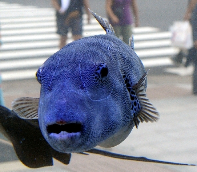 A Stellate pufferfish is shown in a tank outside Sony Building in Tokyo's Ginza shopping district.