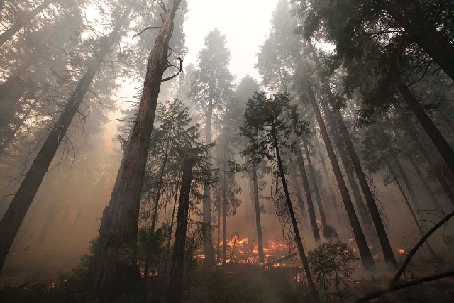 The Rim Fire burns through trees near Yosemite National Park, Calif., on Tuesday, Aug. 27, 2013. Firefighters gained some ground Tuesday against the huge wildfire burning forest lands in the weste ...