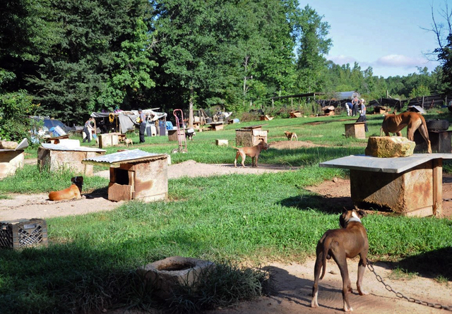 In this Aug. 23, 2013, photo provided by the ASPCA, dogs sit at a home in Auburn, Ala. A federal and state investigation into dog fighting and gambling has resulted in the arrest of 12 people from ...