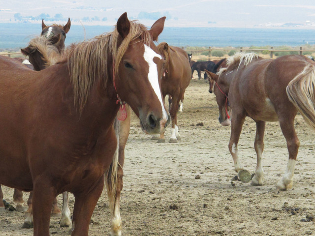 Mustangs recently captured on federal rangeland roam a corral at the BLM's holding facility north of Reno, Wednesday, Sept. 4, 2013, in Palomino, Nev. Arizona Rep. Raul Grijalva  said he wants to  ...