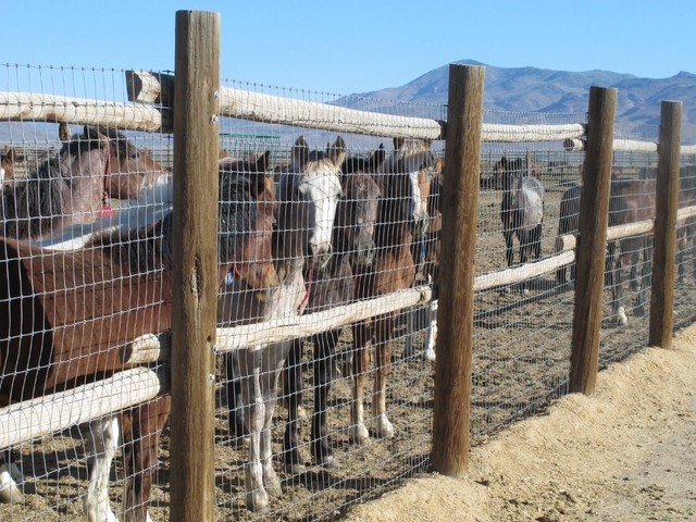 Horses stand behind a fence at the Bureau of Land Management's Palomino Valley holding facility in Palomino Valley, Nev., on June 5. A scathing independent scientific review of wild horse roundups ...